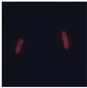 Escherichia coli cells with the surface polysaccharide layer highlighted in red Photo by Caitlin Sande-Whitfield lab